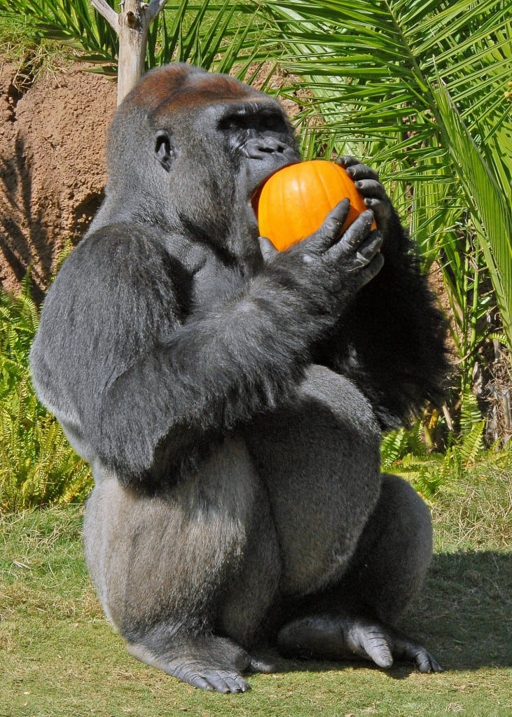 Even the L.A. Zoo, gorillas go ape over Halloween. PHOTO BY JAMIE PHAM