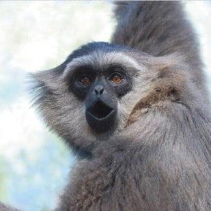 1-Gibbon 1