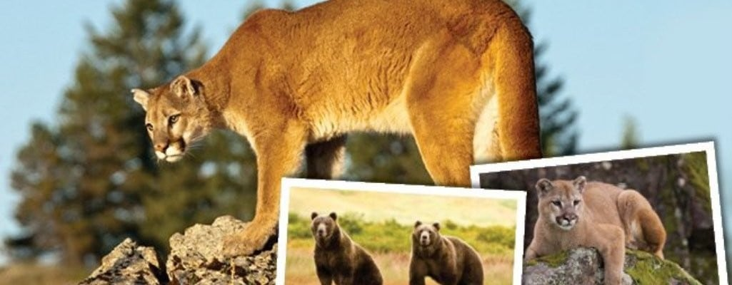 """Cougars and Grizzlies: Sharing Their Path"" Exhibit"