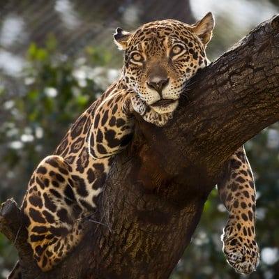 Jaguars Jellies Donuts Square
