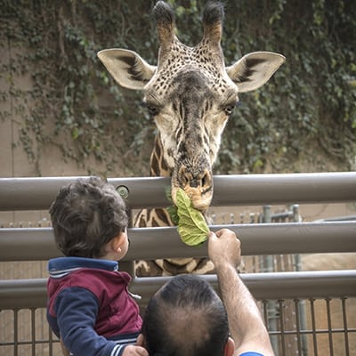 It S Giraffe Feeding Time And Time For Los Angeles Family Fun At