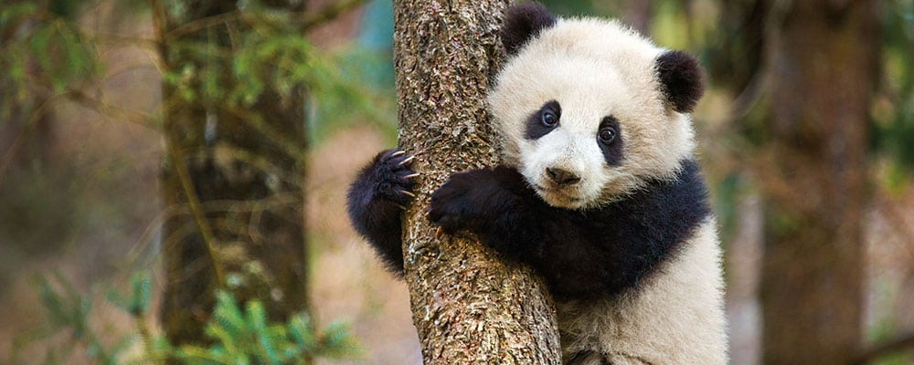 "Disneynature's ""Born In China"""