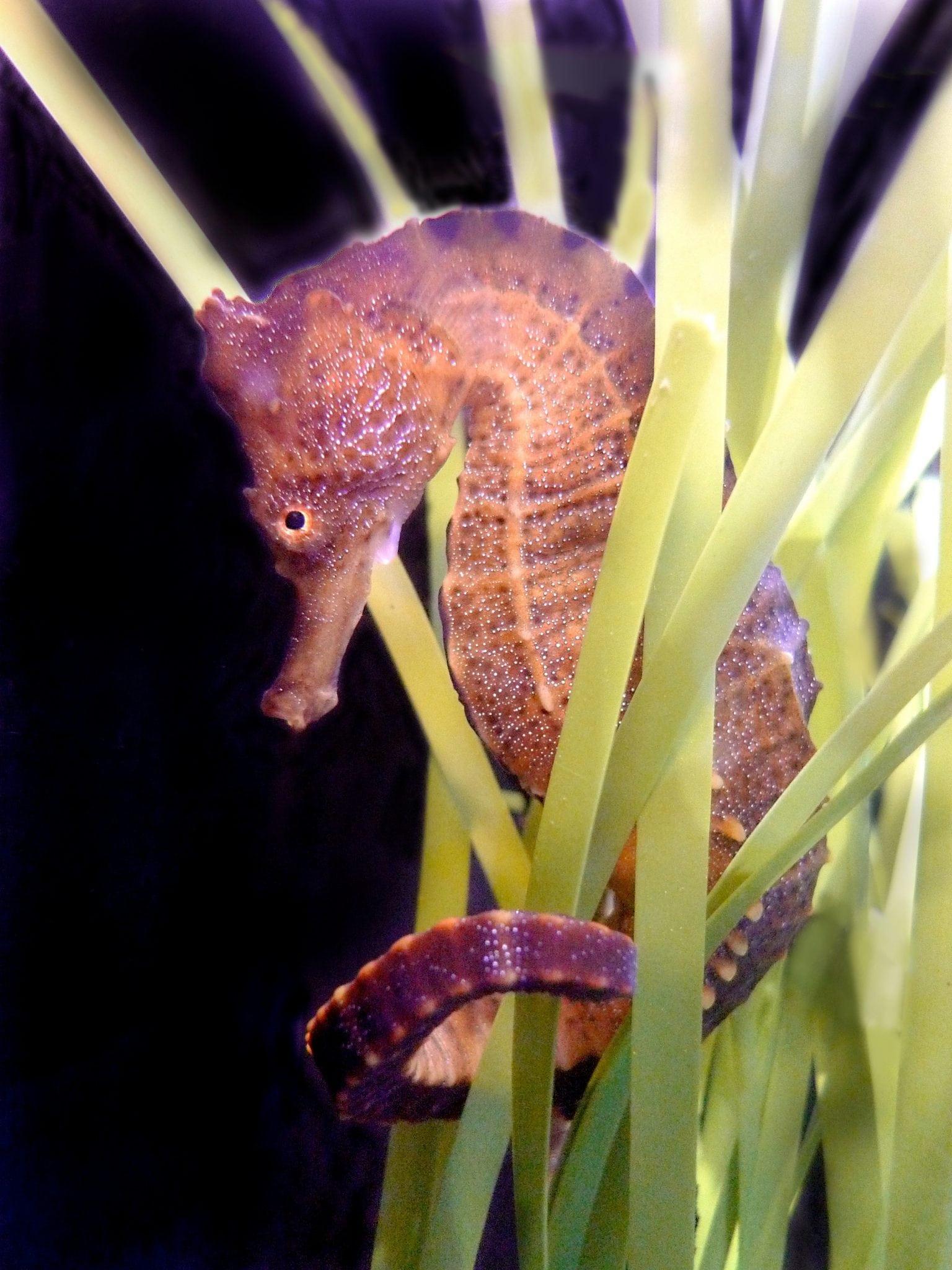 Santa Monica Aquarium's Seahorse Exhibit