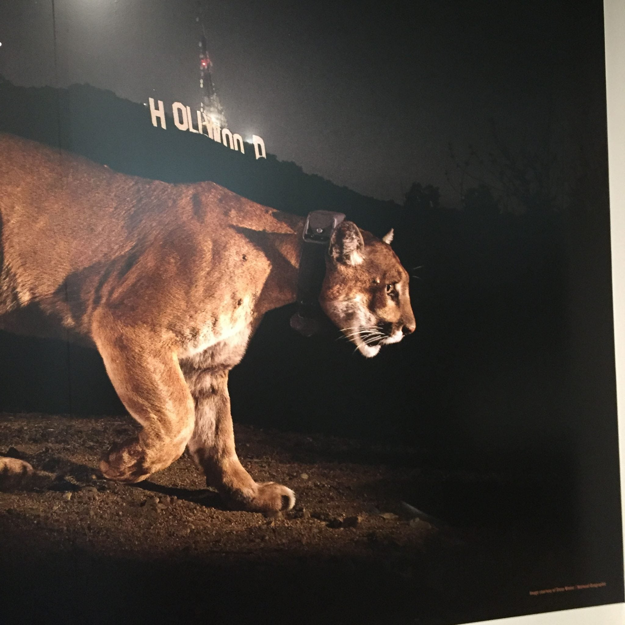Denver News Mountain Lion: Natural History Museum Debuts New Exhibit About Mountain