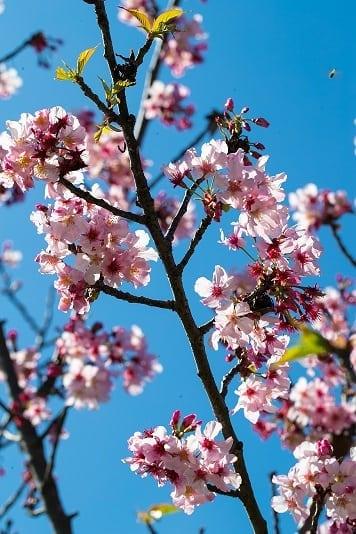 Torrance Cherry Blossom Festival