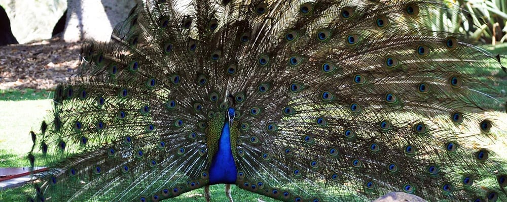 Peacock Day
