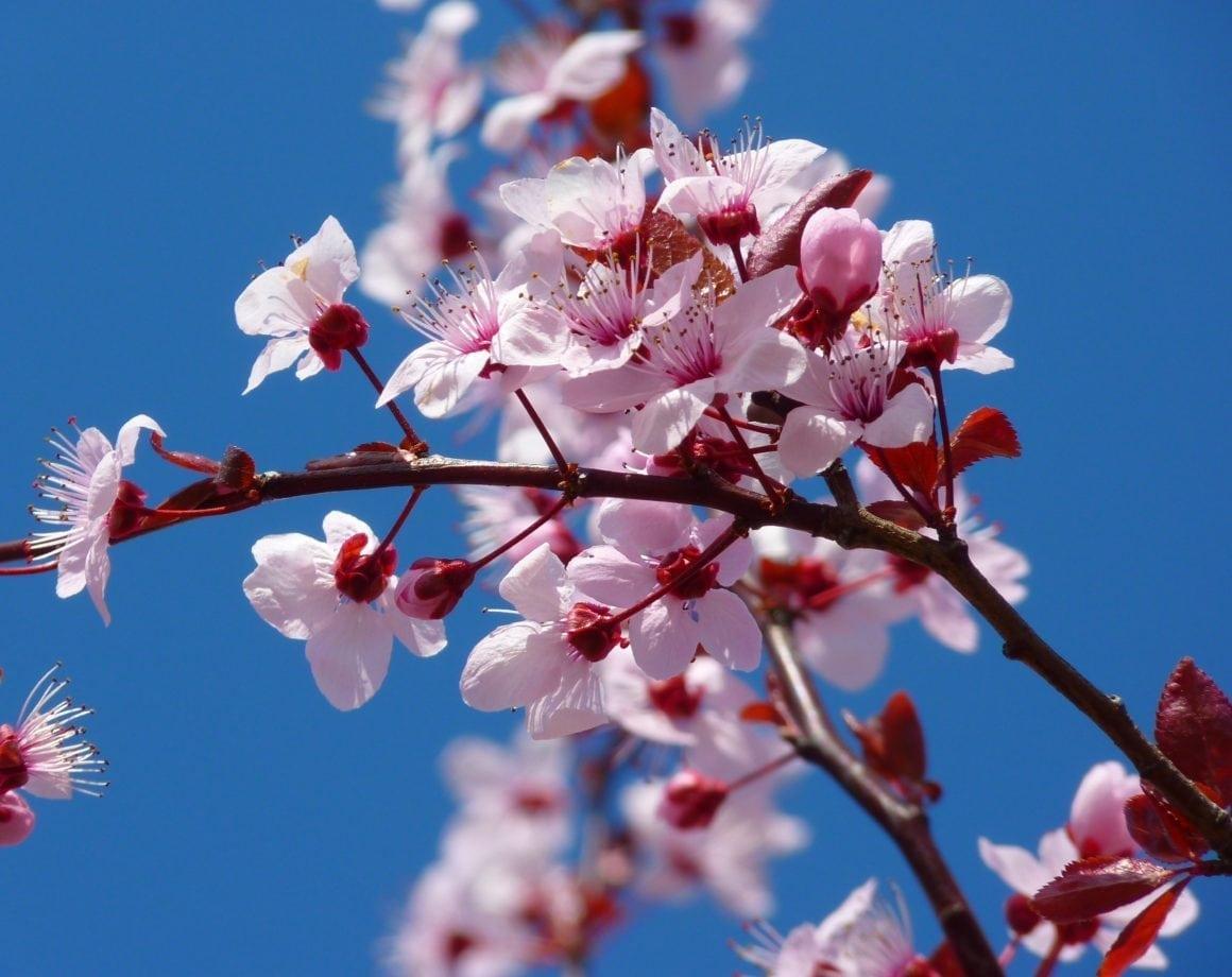 South Coast Botantic Garden's Cherry Blossom Festival