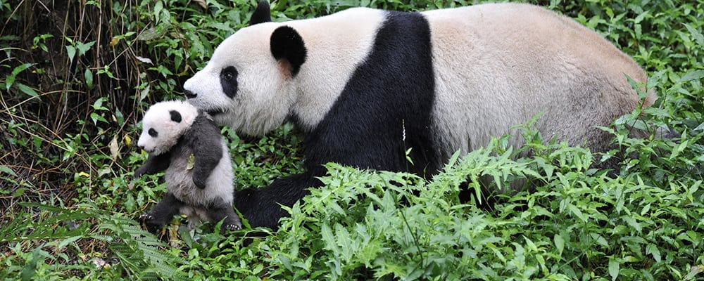Pandas in IMAX