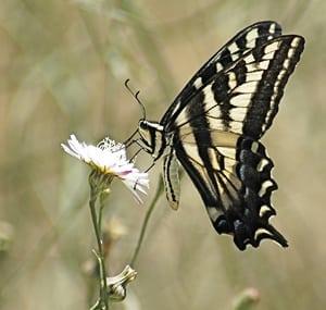 El Dorado NABA Butterfly Count