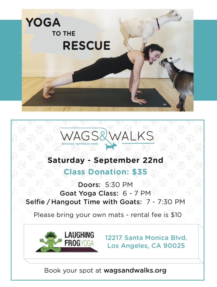 Wags & Walks Yoga to the Rescue with Goats