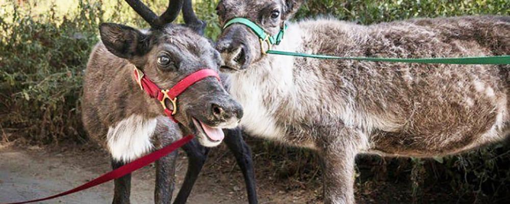 L.A. Zoo's Reindeer Romp
