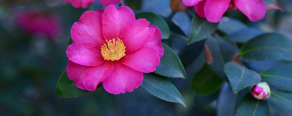 Descanso Gardens' Camellia Celebration