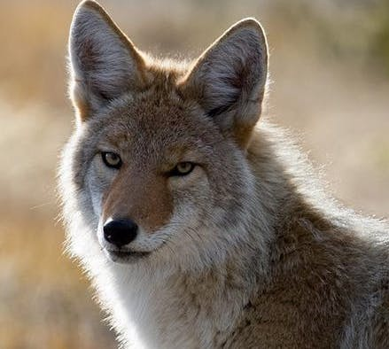 Coyote Safety Workshop