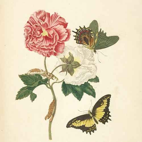 Huntington Family Garden Party: Maria Sibylla Merian's Butterflies and Blooms