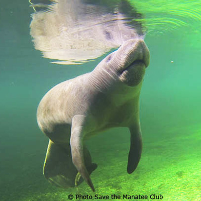 Save the Manatee Q&A Livestreams