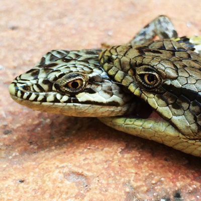 Help the Natural History Museum Study Alligator Lizards in Your Backyard