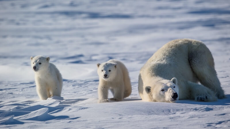 "Polar Bears International Live Chat: Why Sea Ice is ""Cool"""