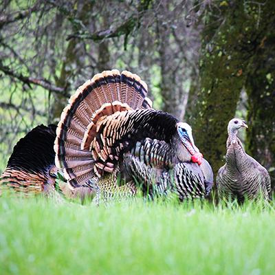California Wild Turkeys!