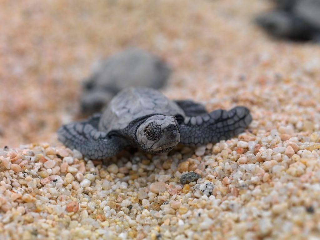 Los Cabos turtle