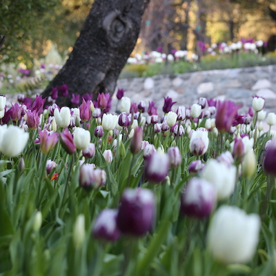 Cherry Blossoms and Tulips Bloom at Descanso Gardens