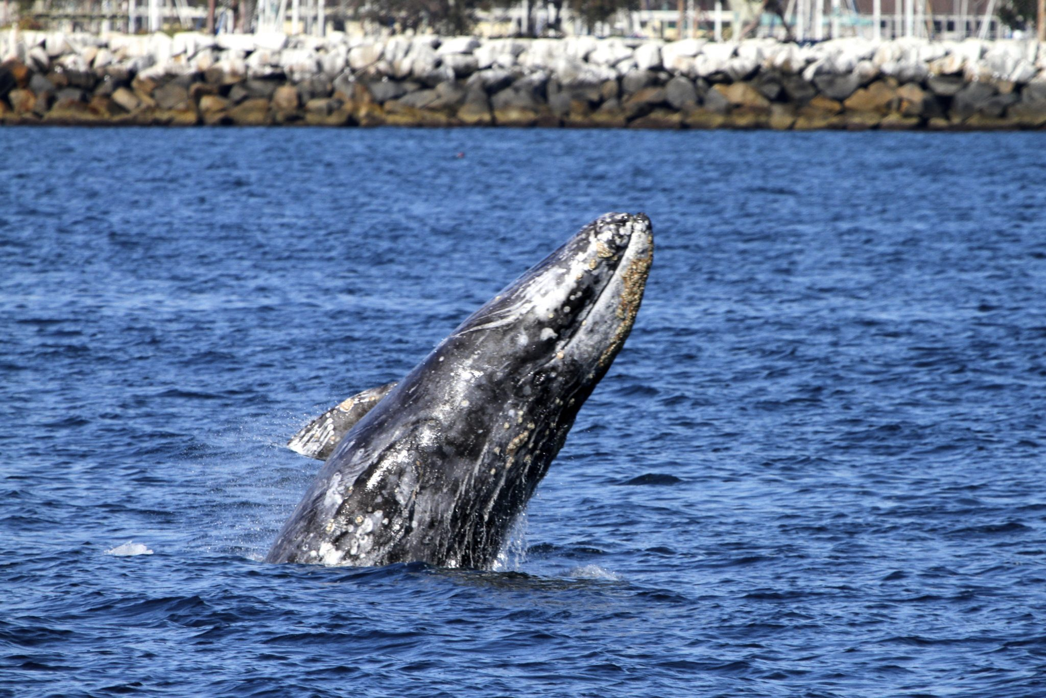 Whale Watching at Dana Point Harbor