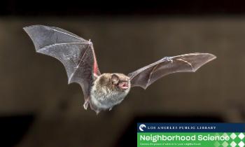 Neighborhood Science Tuesdays: Backyard Bats