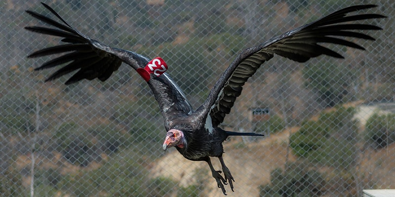 Animal Matters: L.A. Zoo's California Condor Conservation Project
